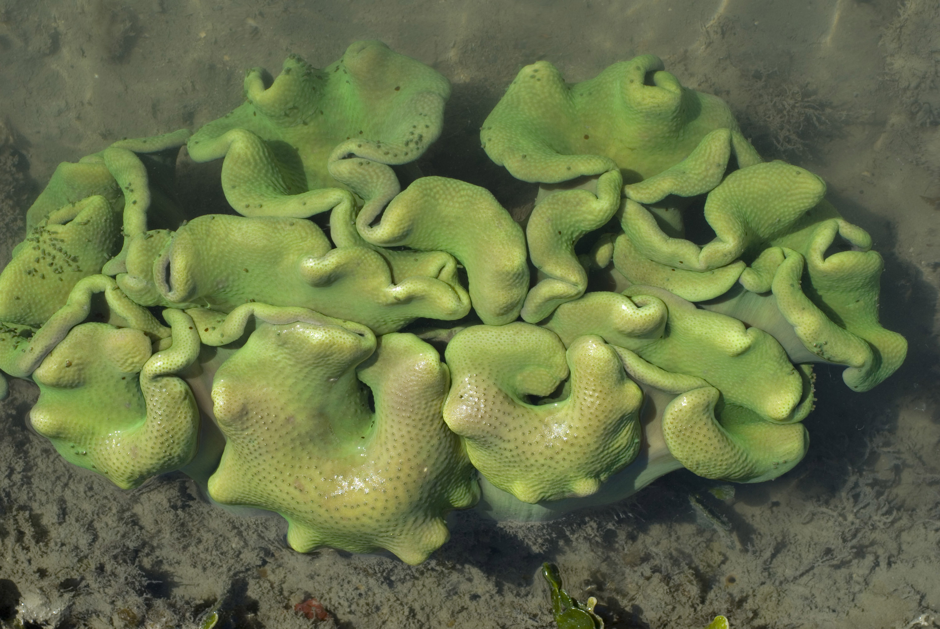 a small colony of green coloured coral