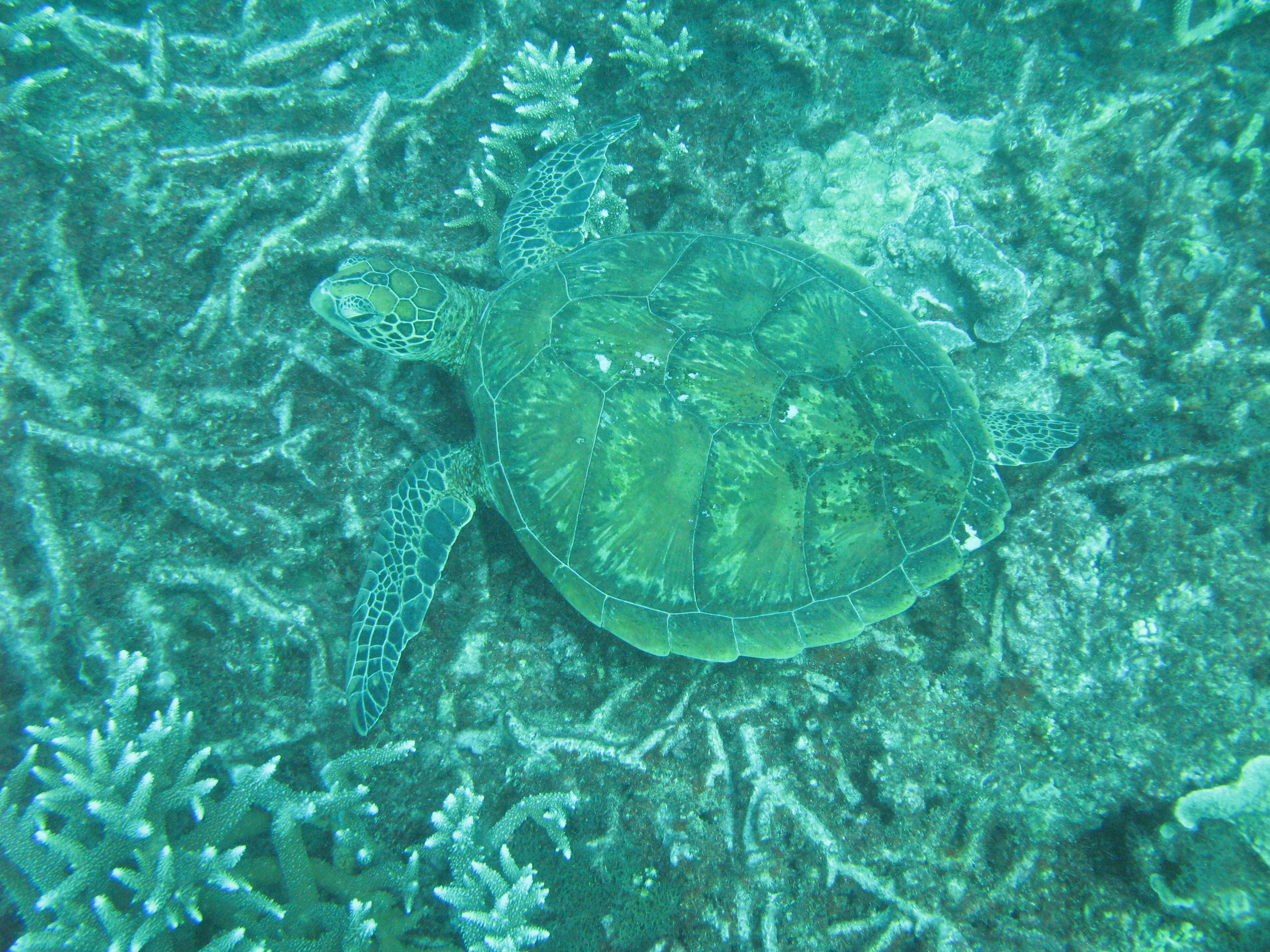 a turtle feeding on a coral reef
