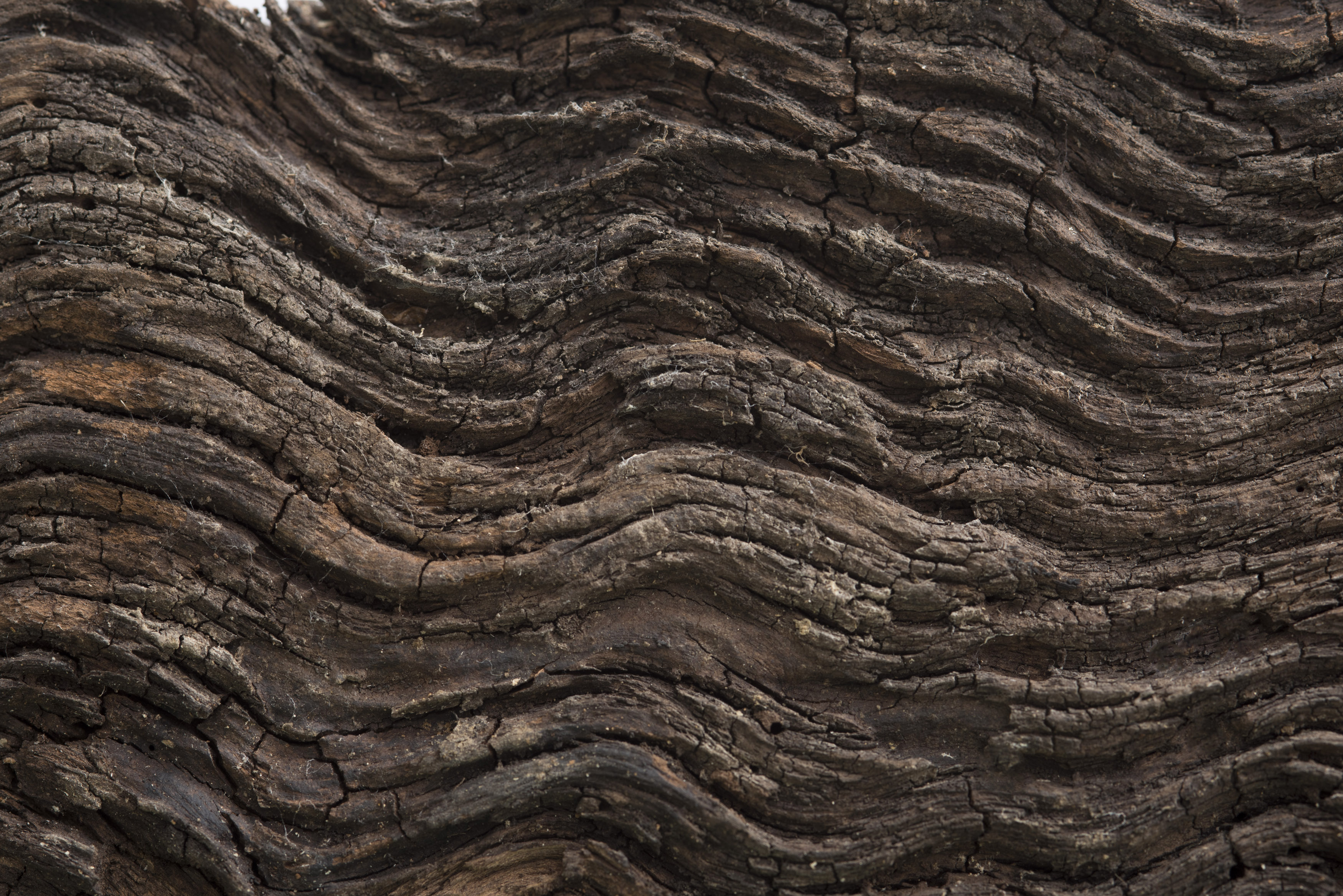 Dark brown wavy tree bark wooden surface with cracks, viewed in close-up and full frame. Natural background concept