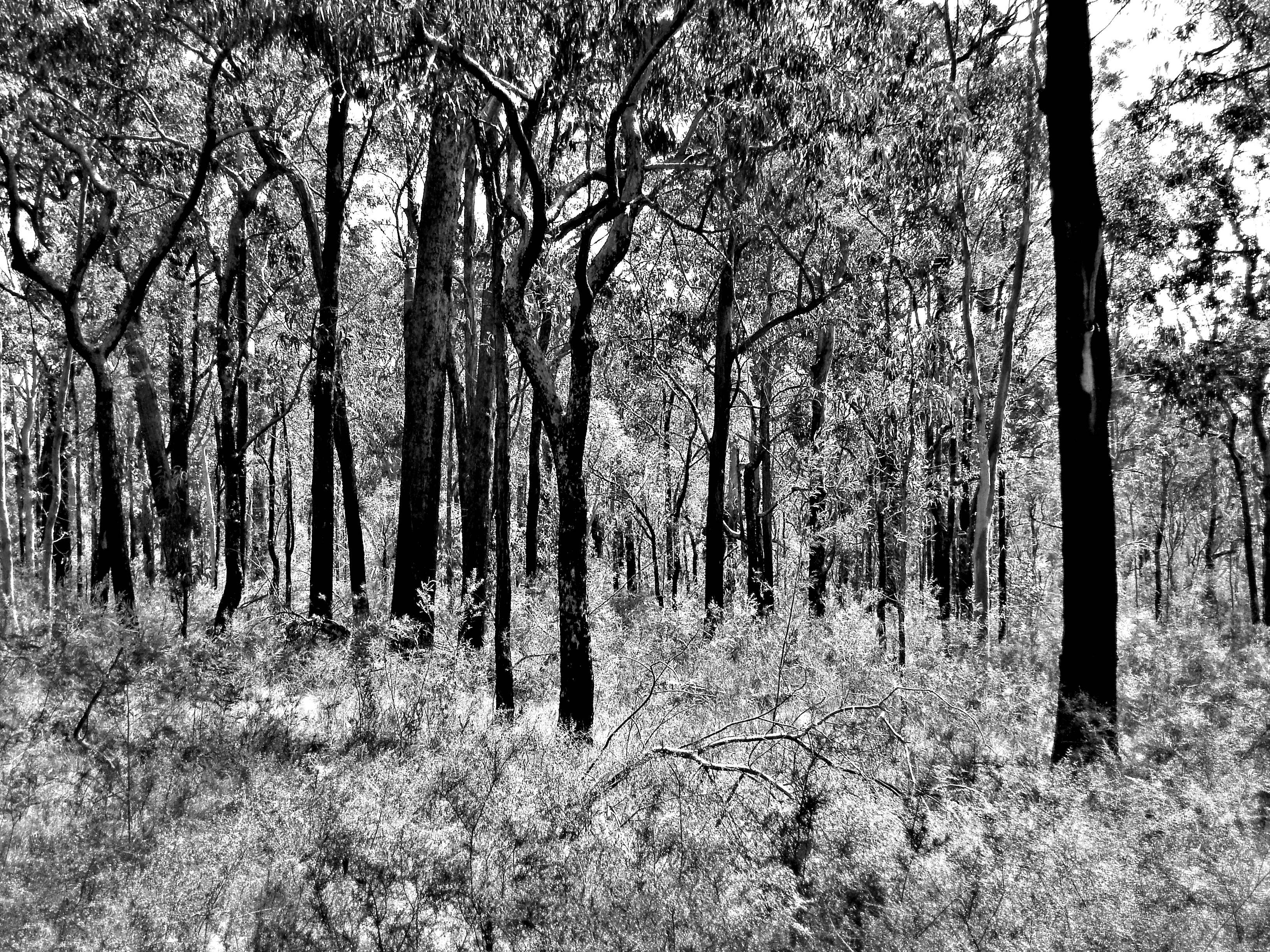 black and white high contrast image of australian trees