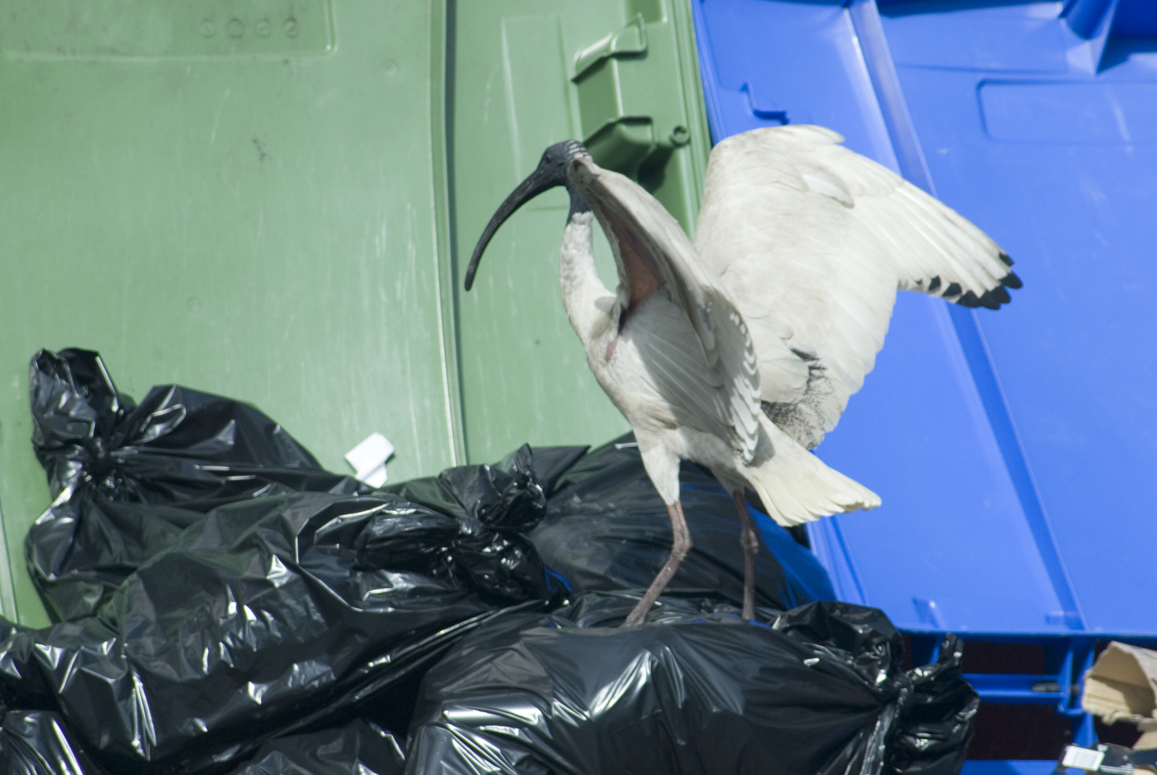 an ibis in the bins