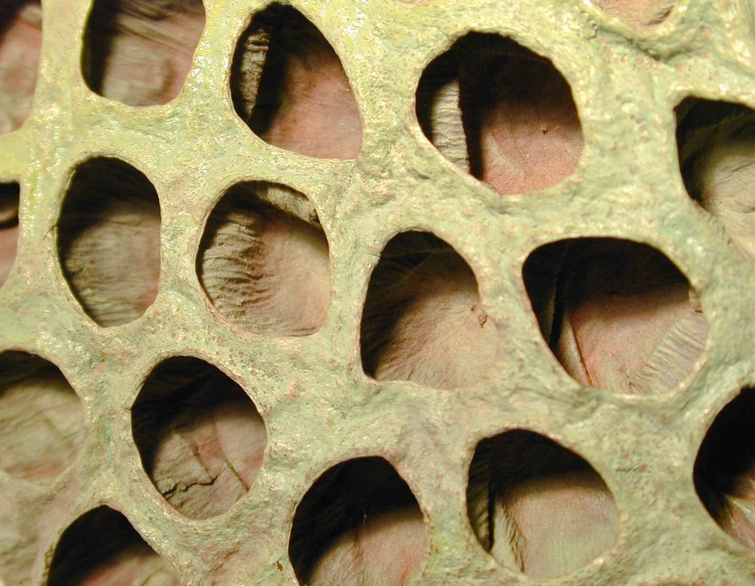 the head of a lotus flower after seeding