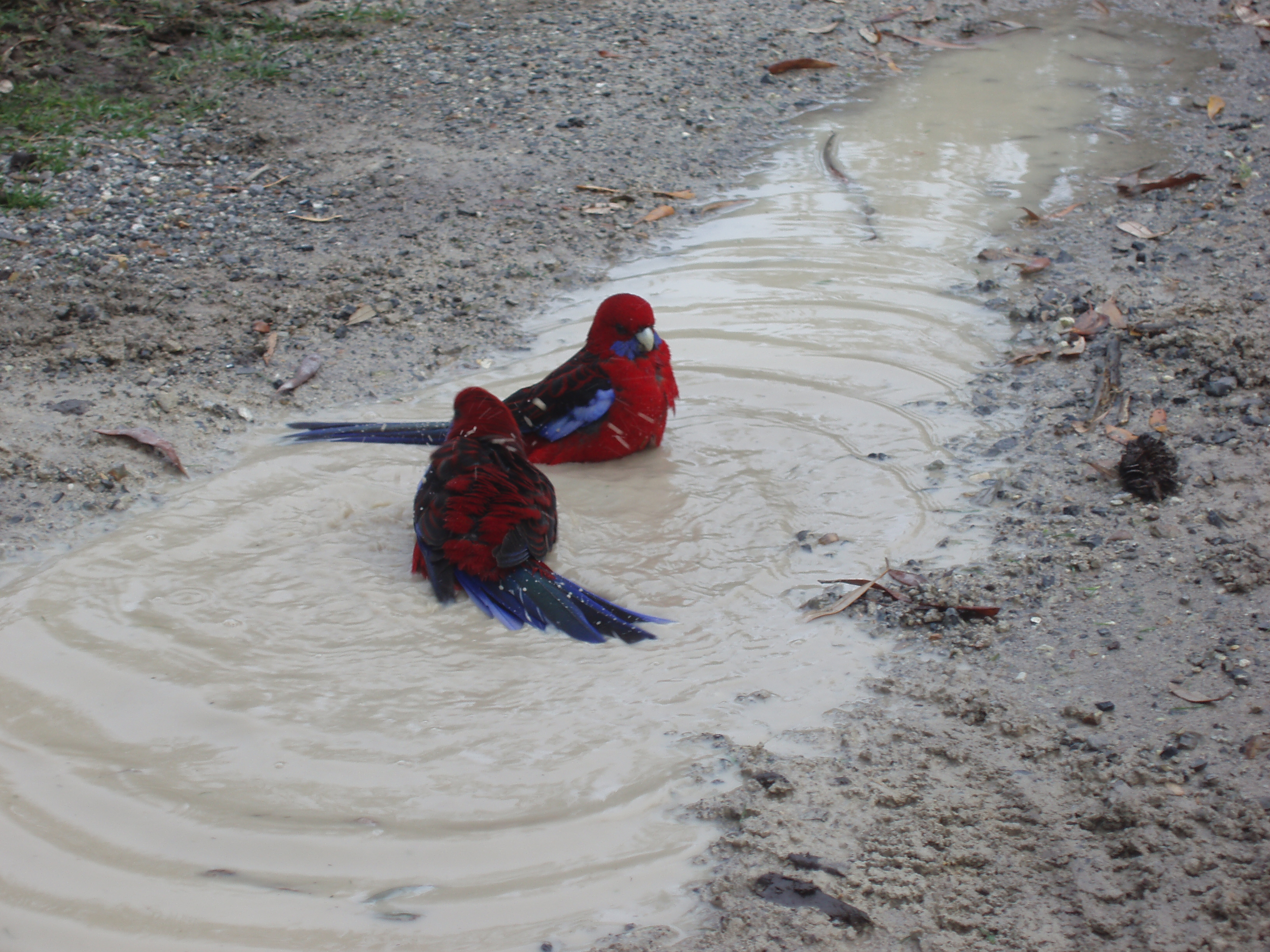 two colourful birds bathing in a muddy puddle