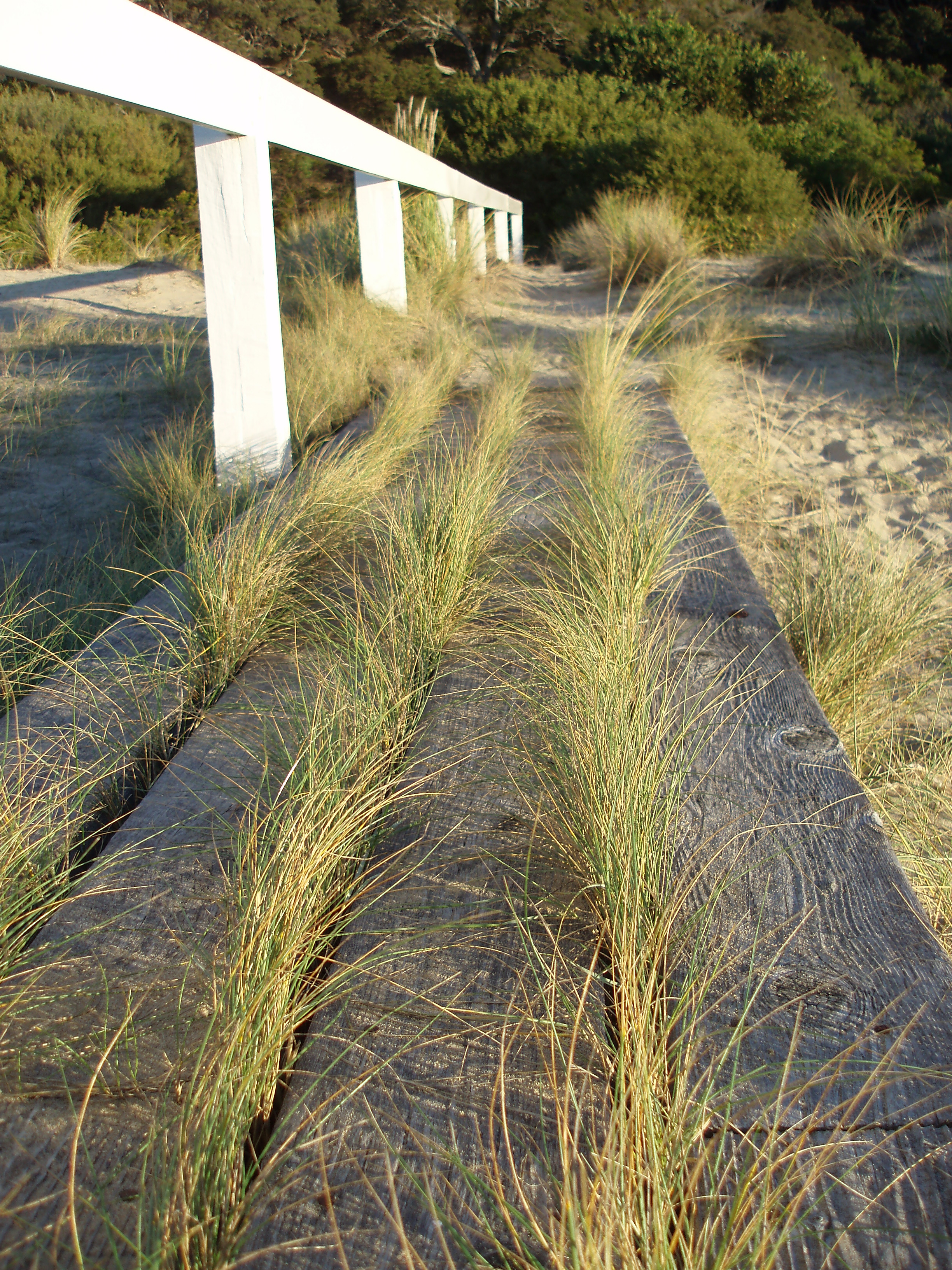 grasses growing through cracks in an old wooden walkway