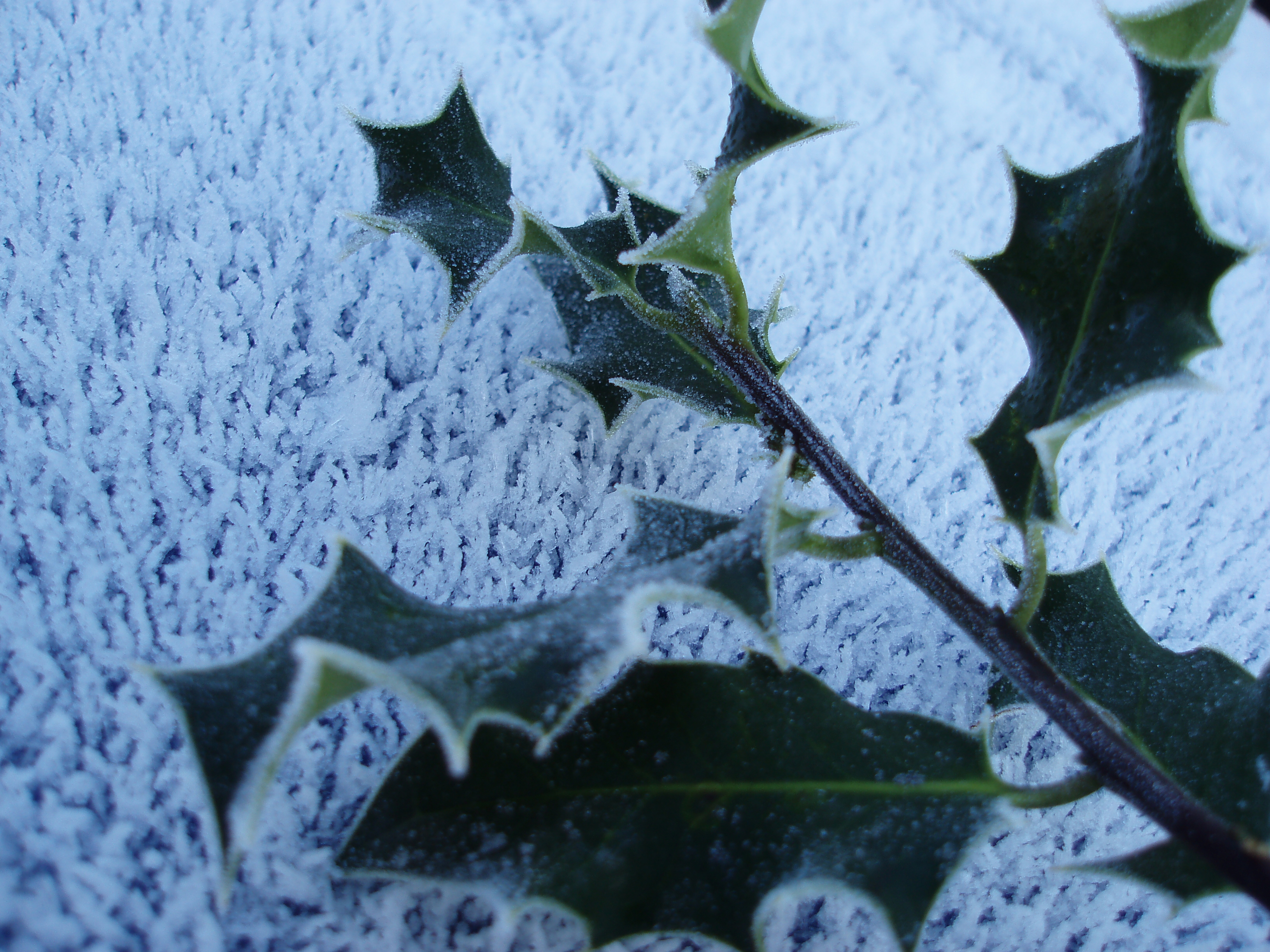 frozen holly sprig