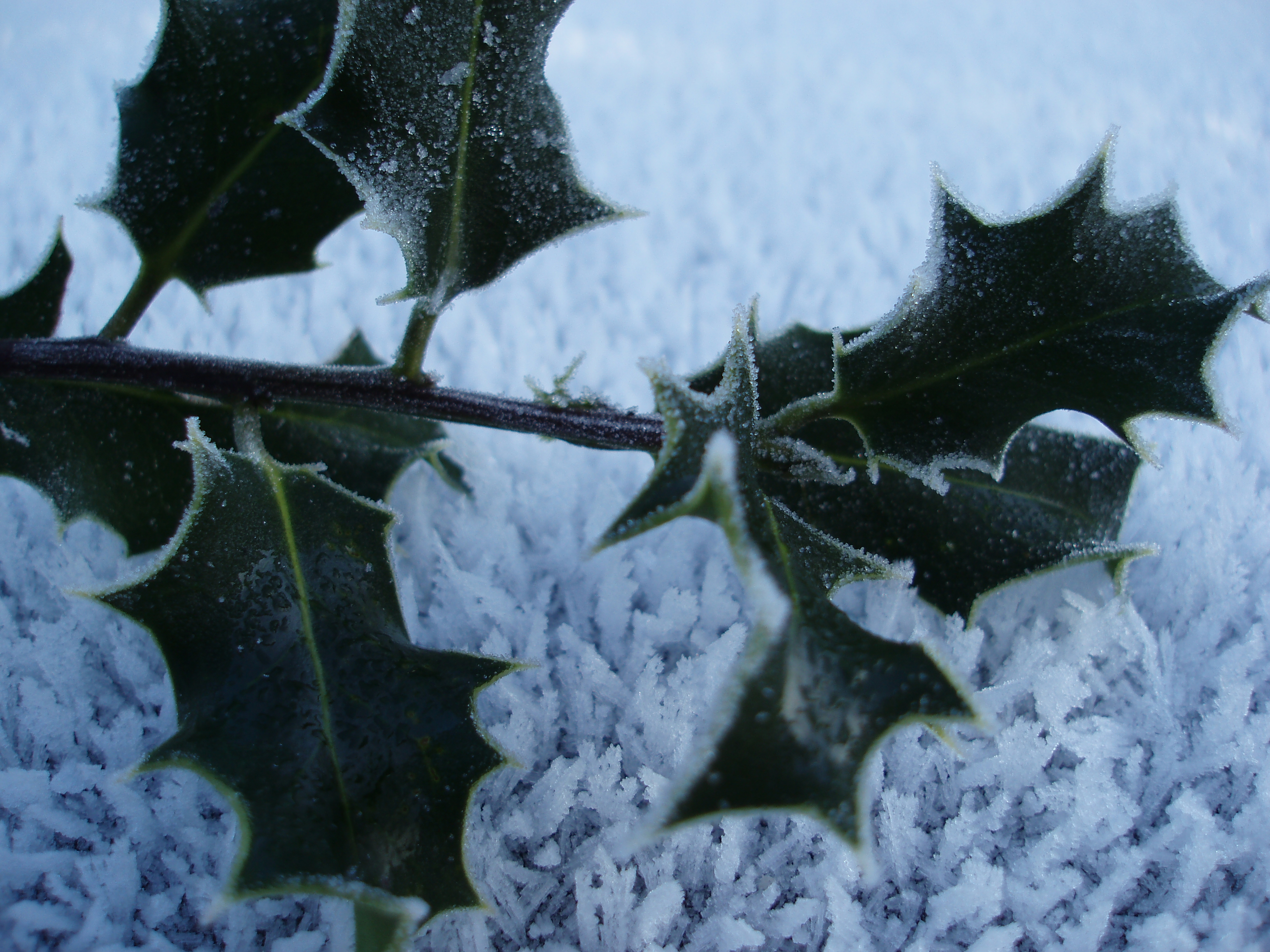 frozen holly sprig on a bed of frost
