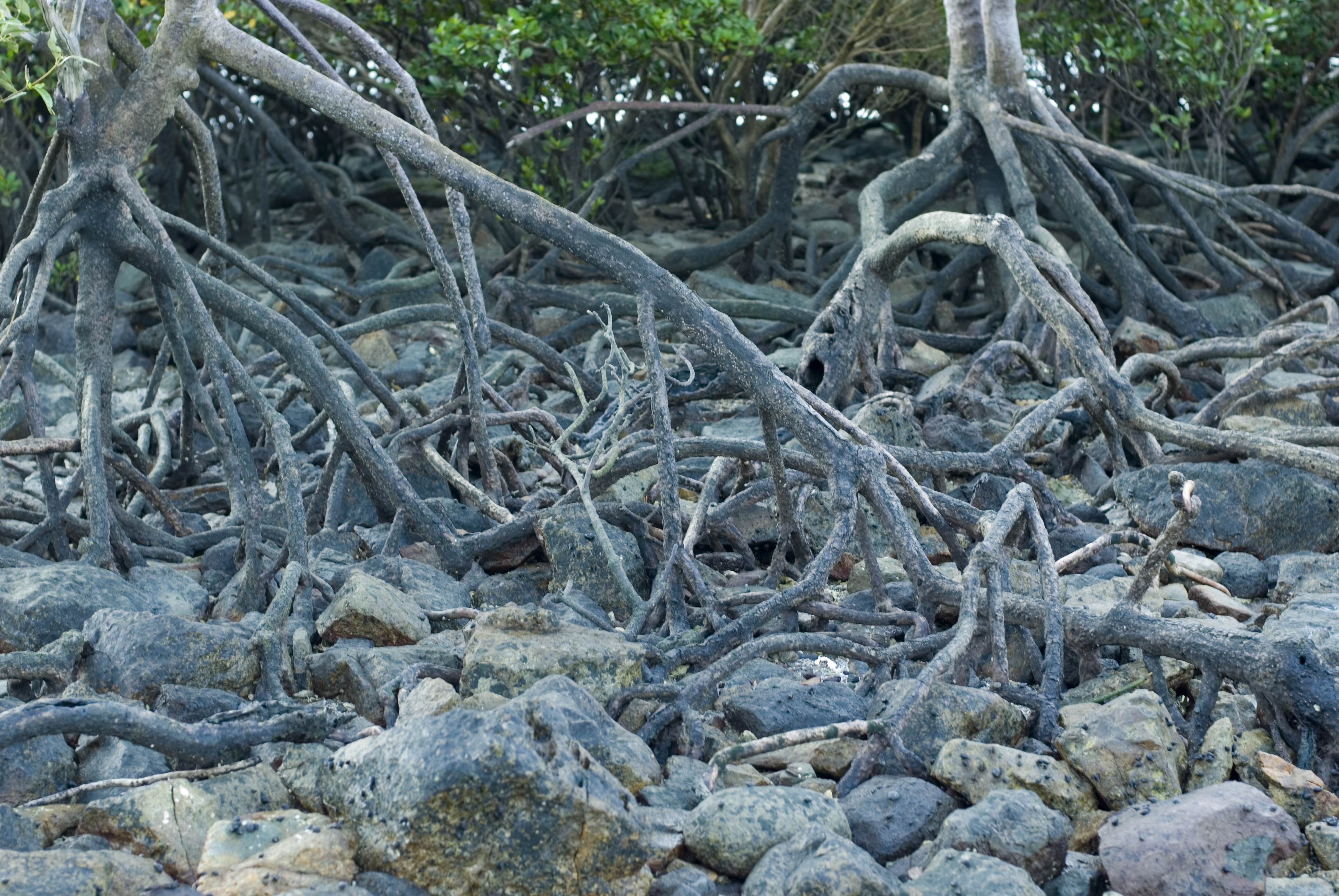 details of mangrove roots