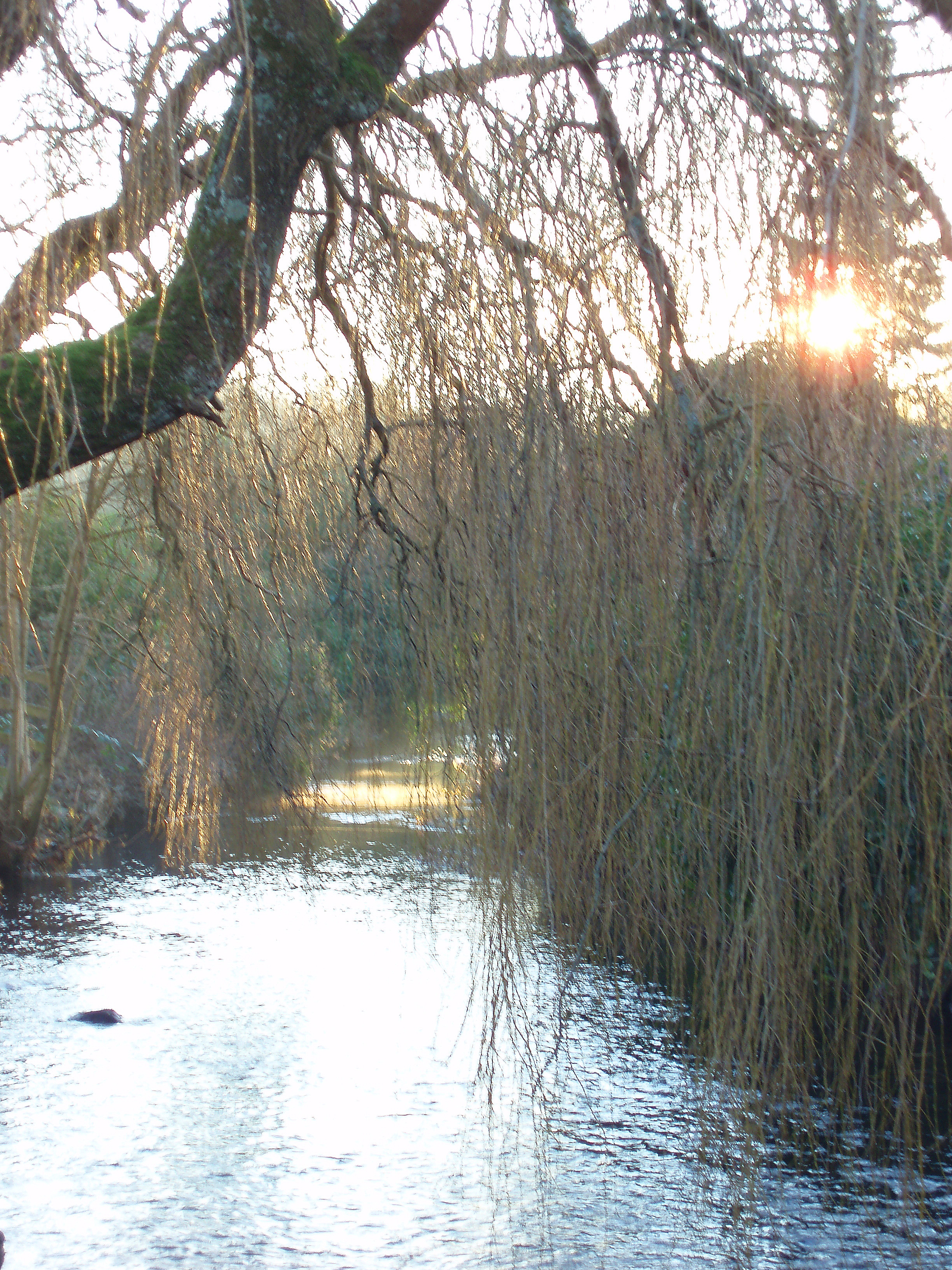 river with a willow tree and sun flare