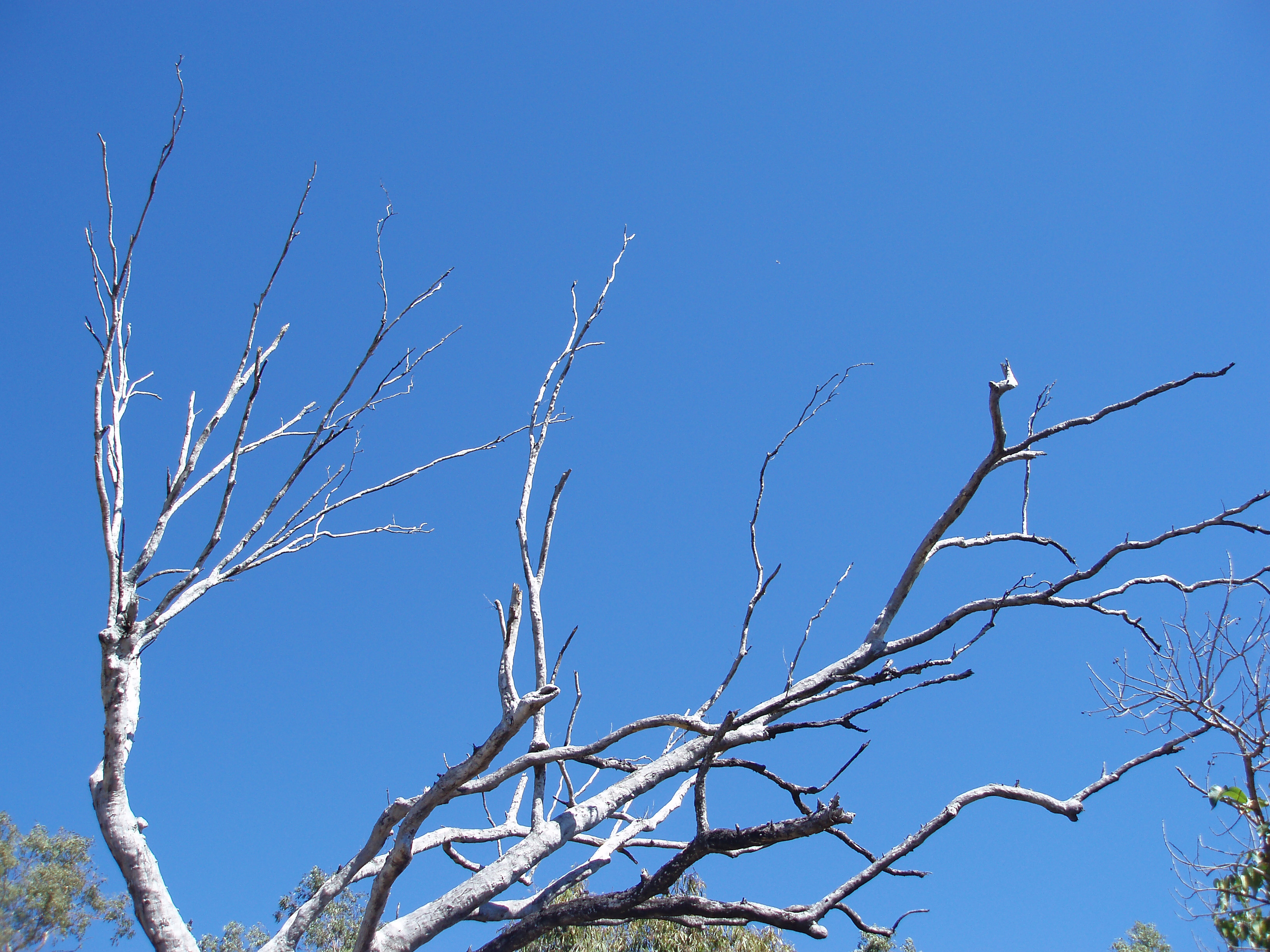 a dead white tree contrasted against a cloudless blue sky