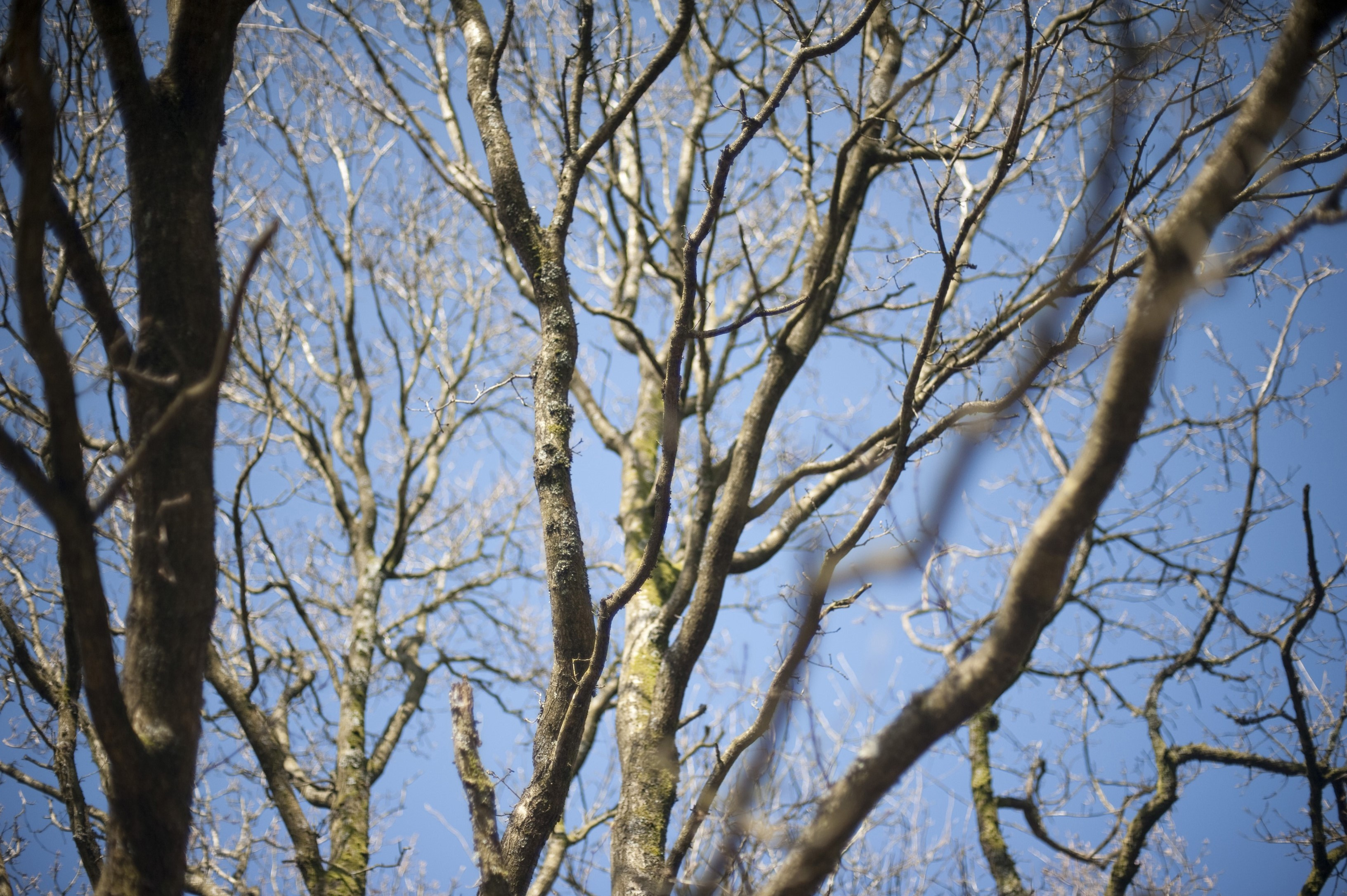 Bare branches of a majestic old deciduous tree in winter against a clear blue sunny sky
