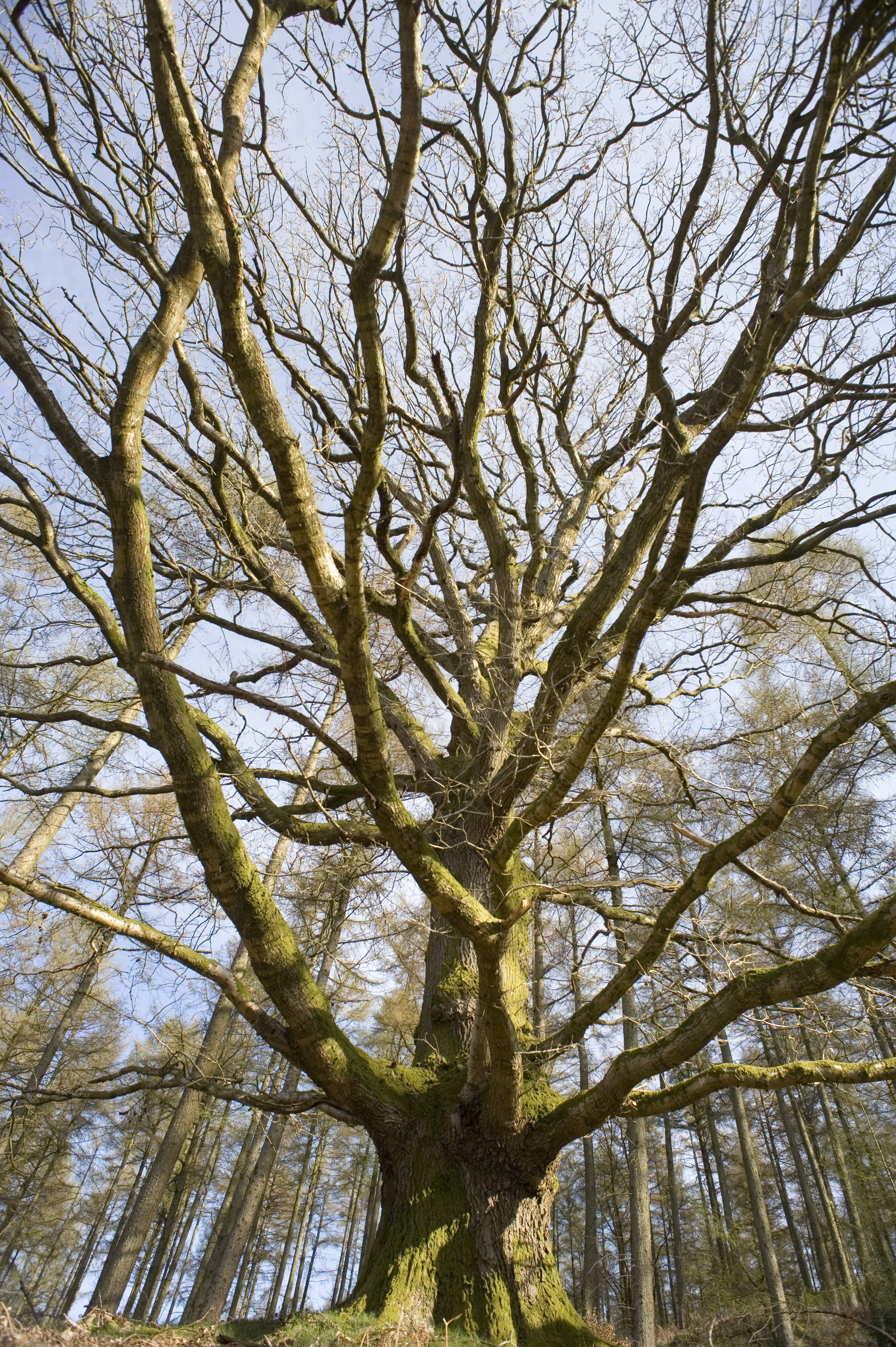 a huge old tree pictured in winter in from a low angle