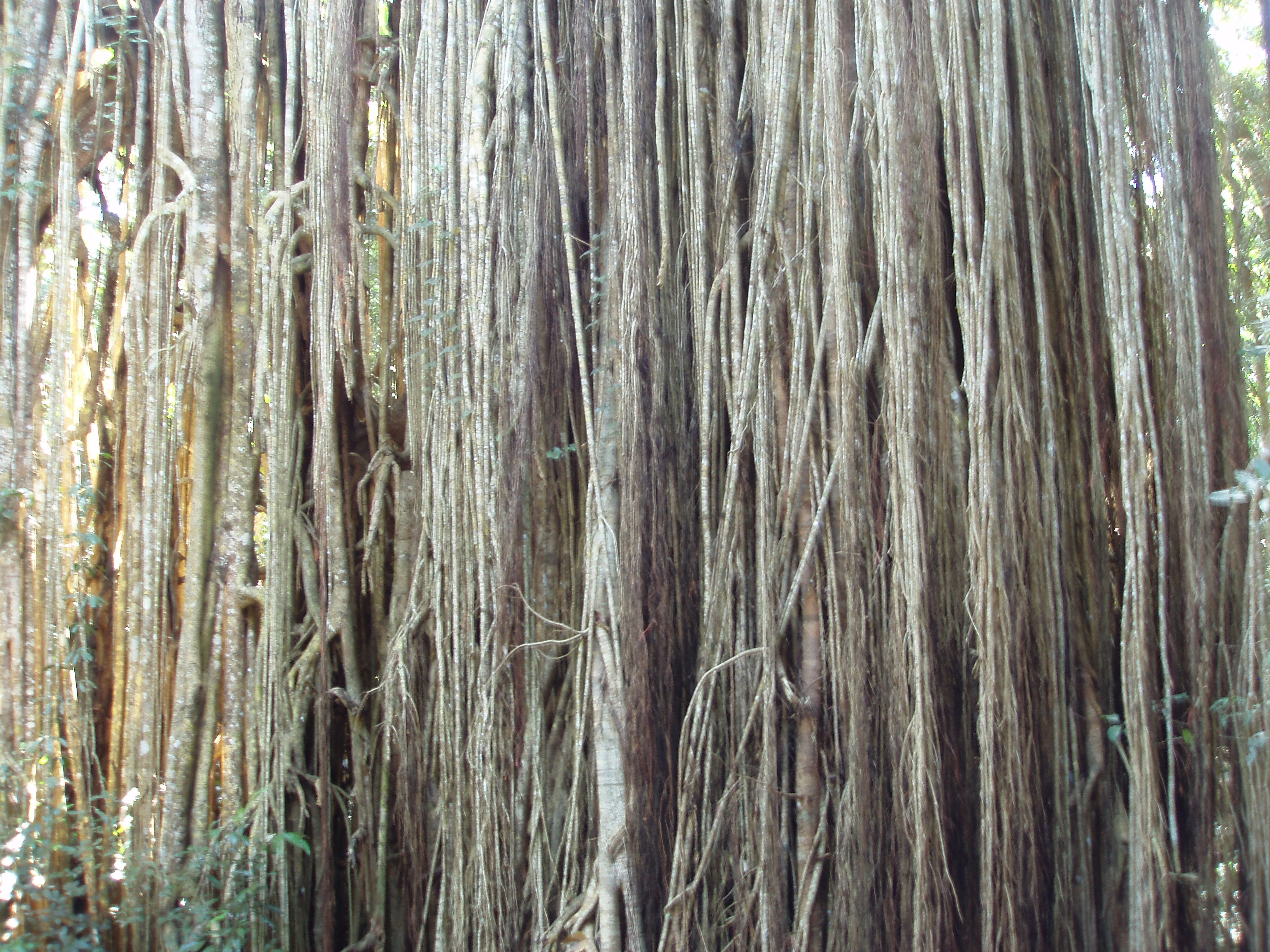 blurred linear texture of fig tree aerial roots