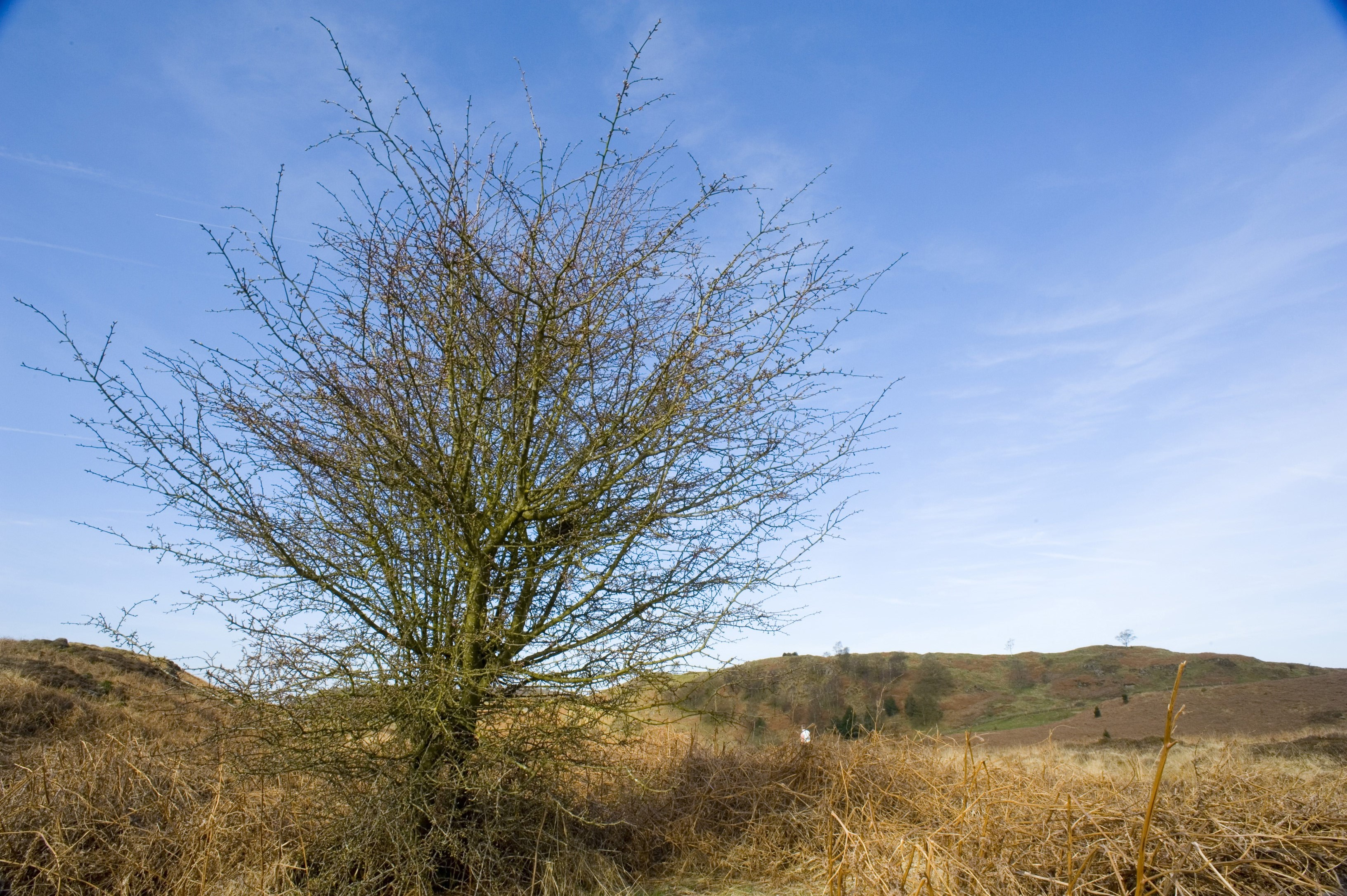 a hawthorn bush pictured in winter on an english fellside