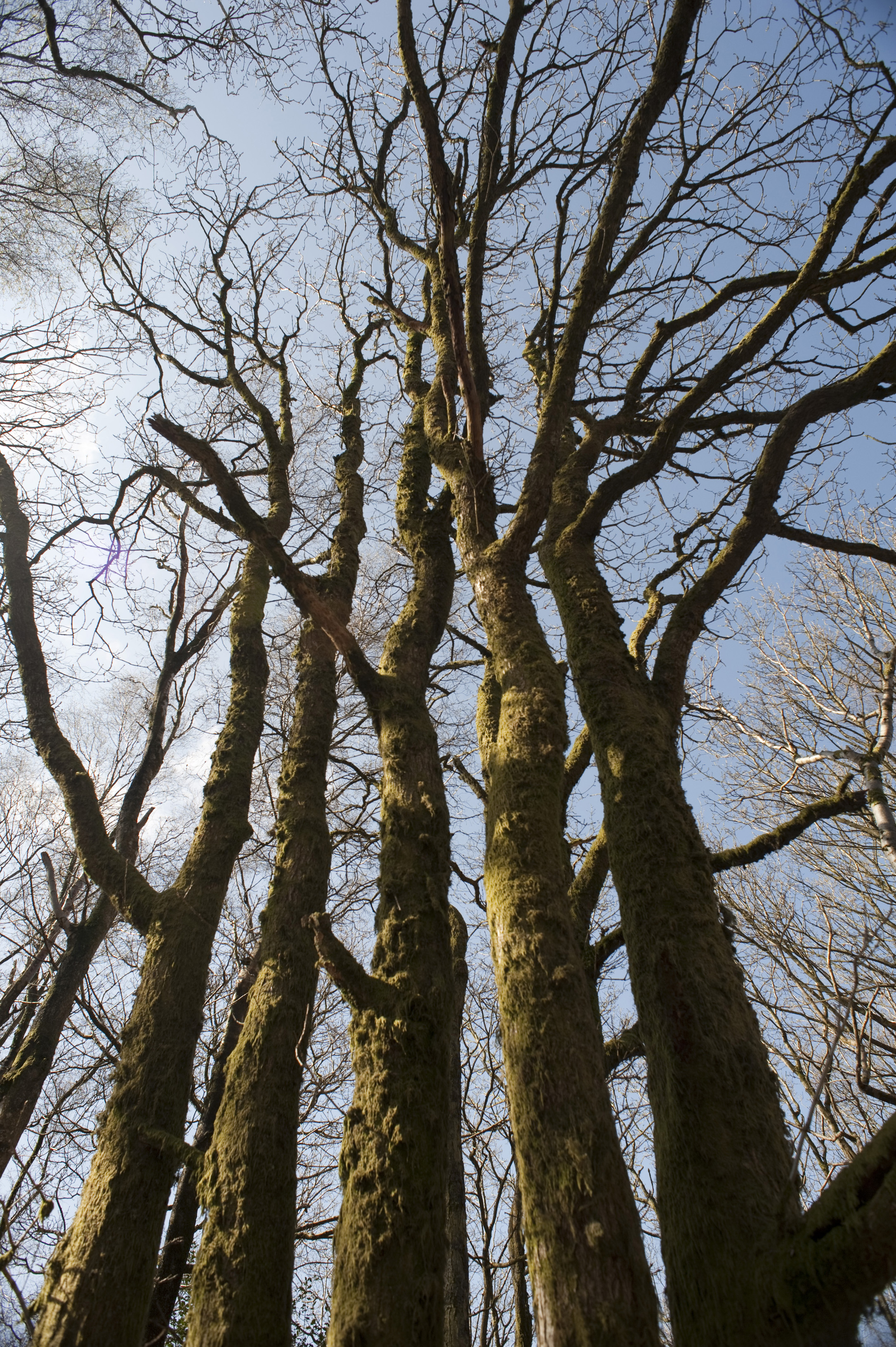 Low angle view of a copse of tall leafless deciduous trees with moss covered bark reaching for the blue sky