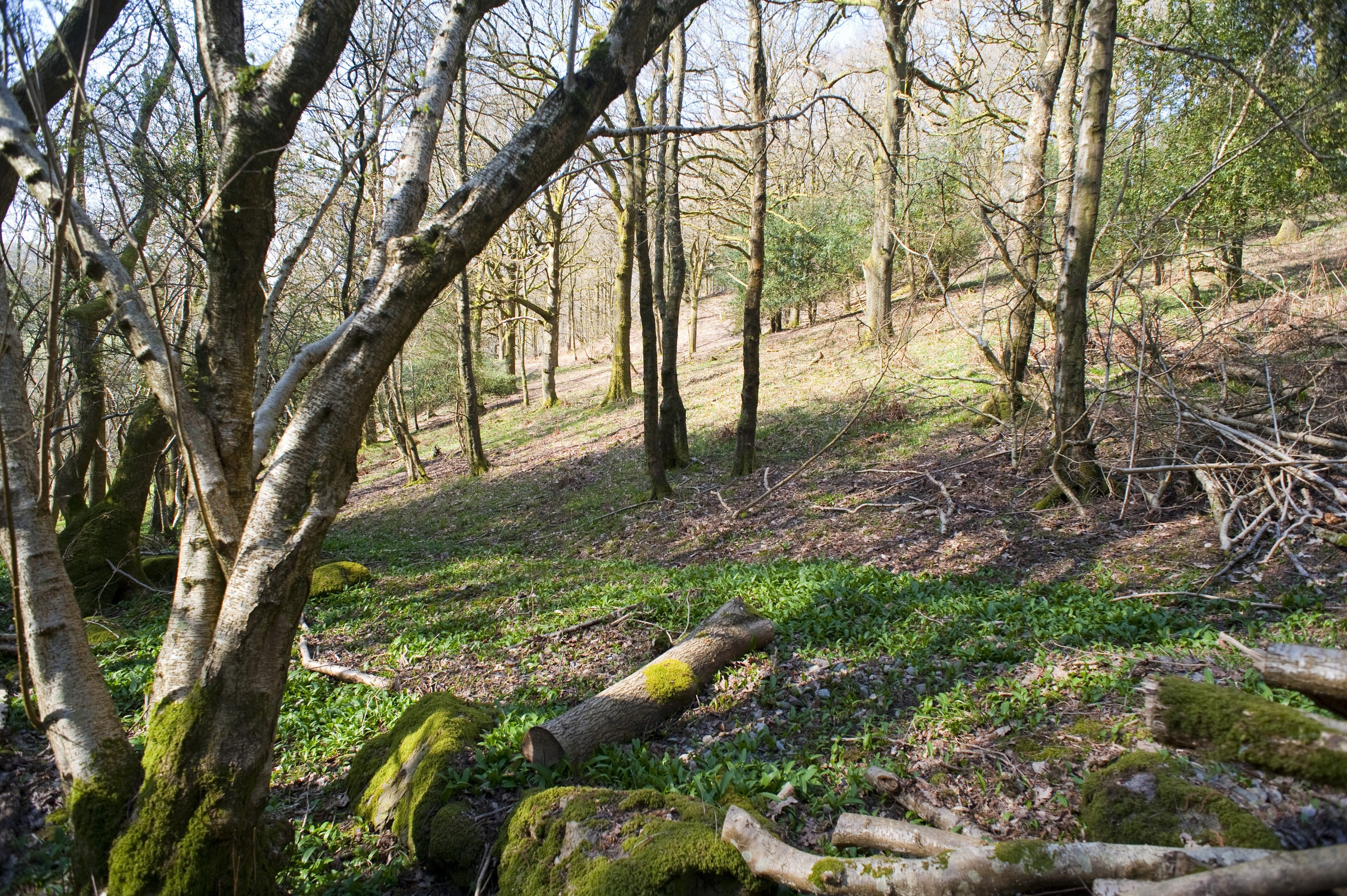an english woodland pictured in early springtime