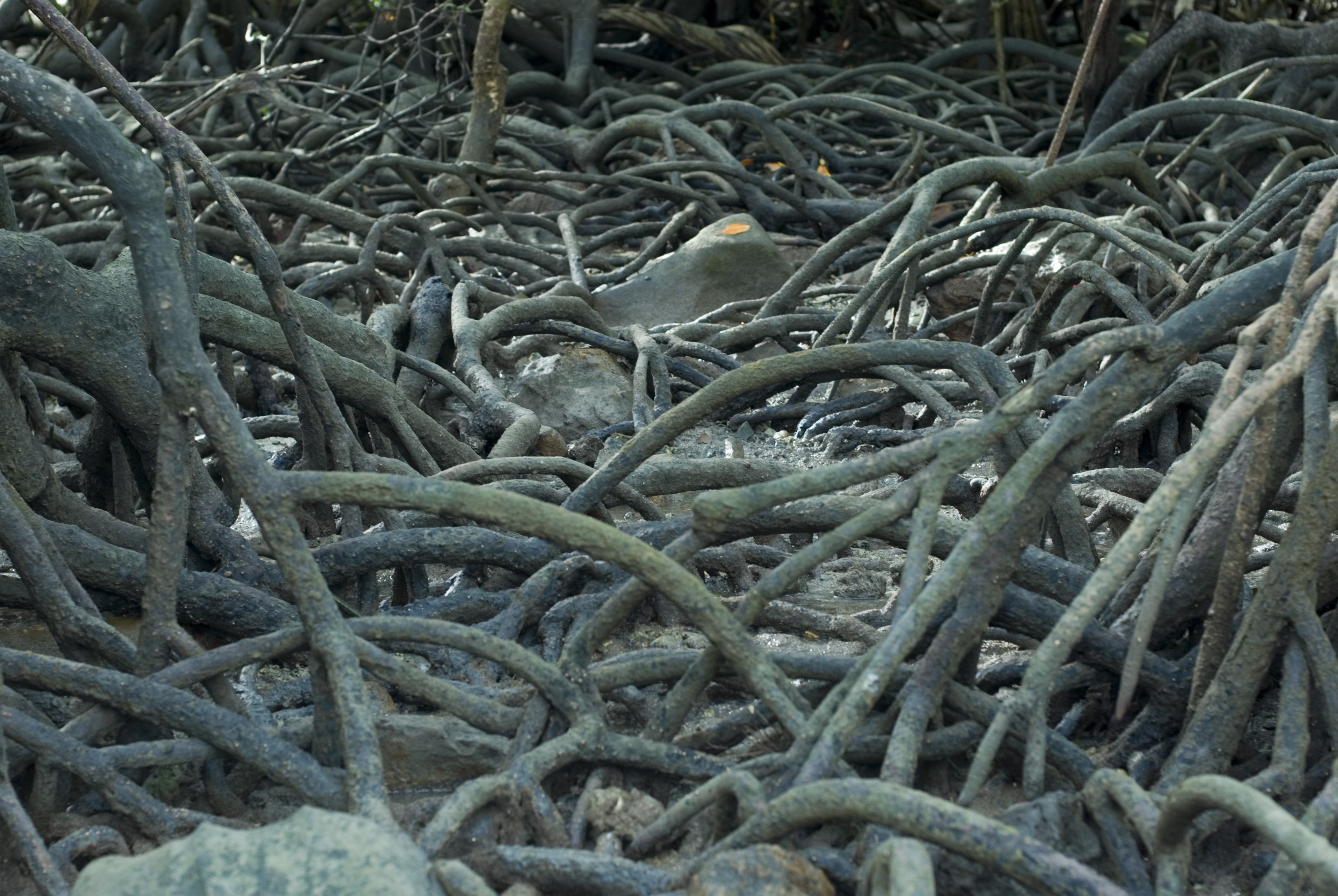 details of mangroves