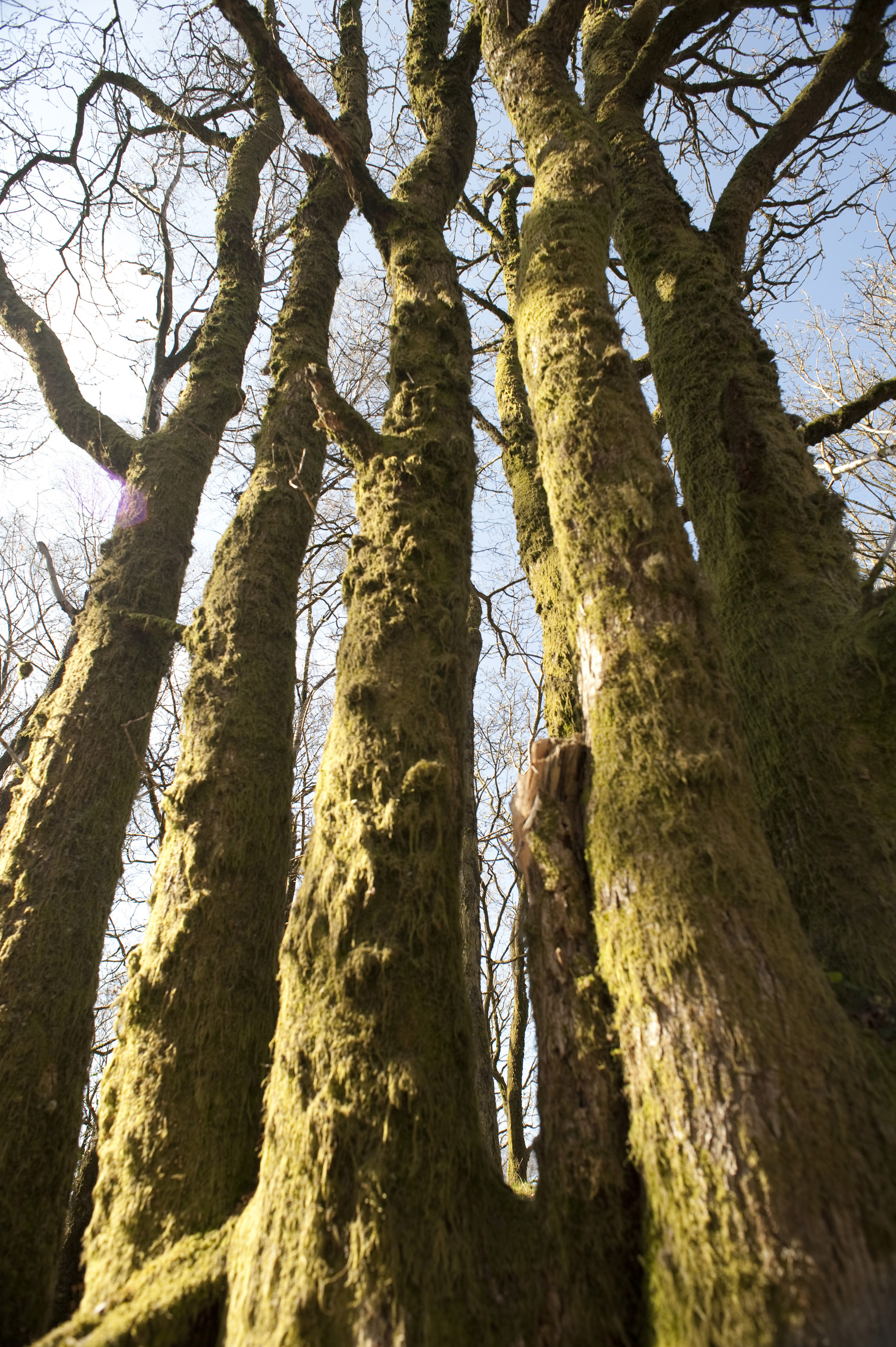 Low angle view of the trunks of a copse of tall trees with their bark covered in moss and lichen