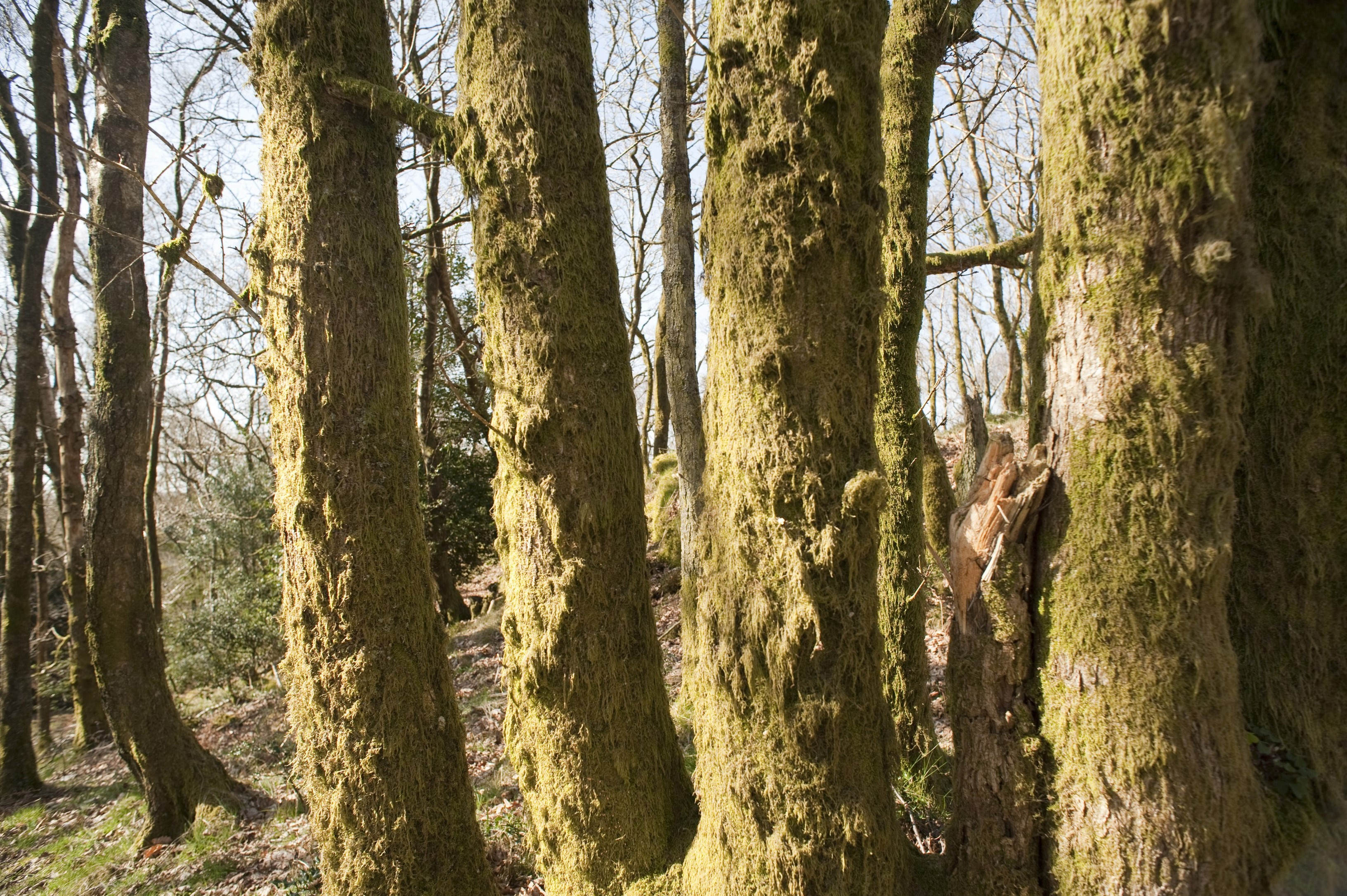 Close up view of a row of tree trunks covered in mossy bark in woodland