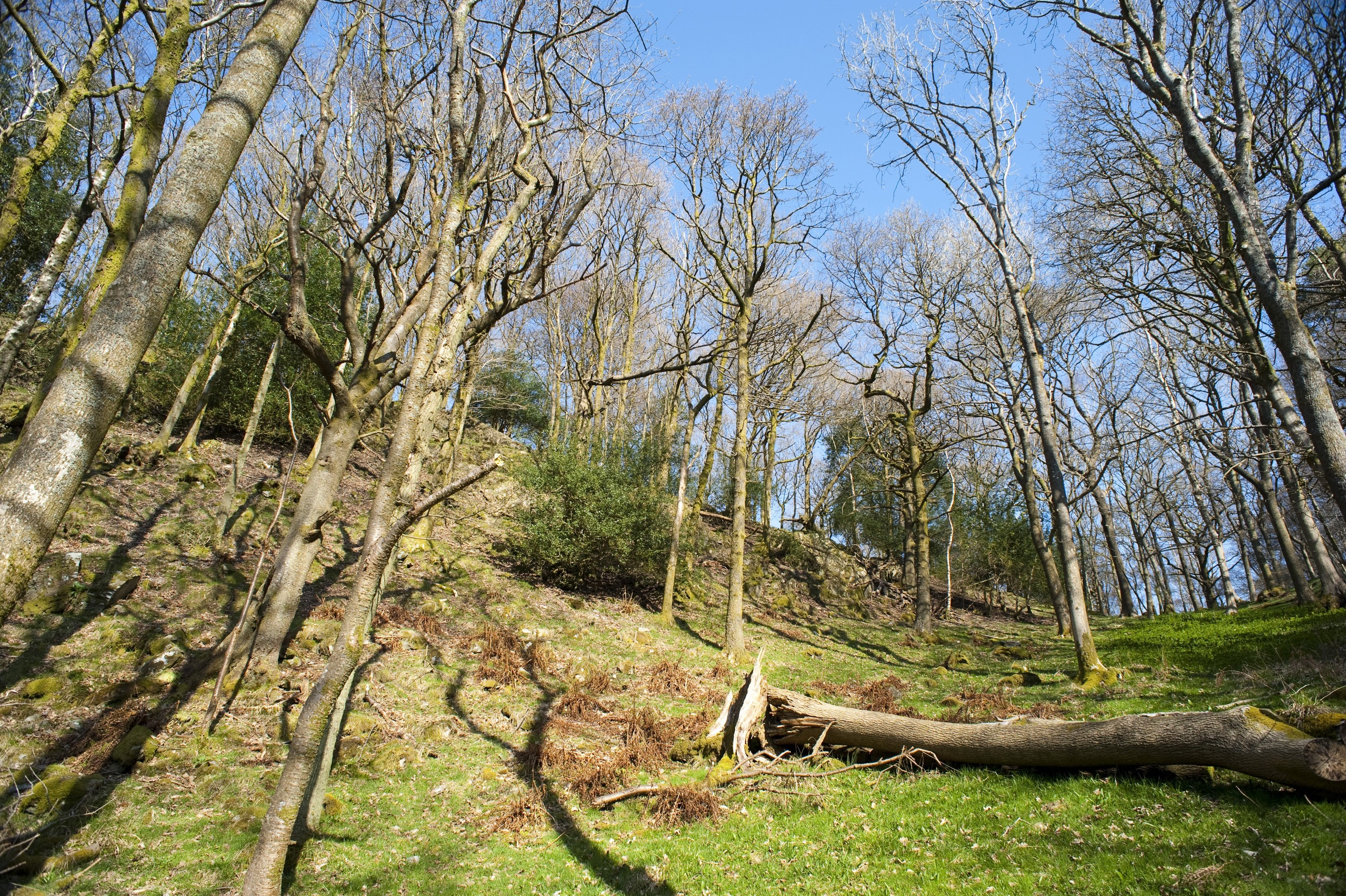 Bare branched deciduous trees in a woodland clearing on a gentle hillside with green grass and a felled tree trunk in the centre