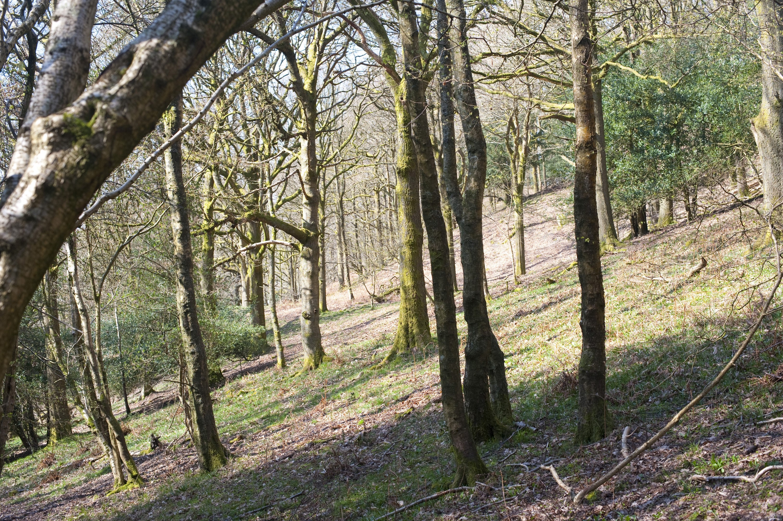 Glade of trees in woodland growing on a gentle hillside, viewed through the trunks
