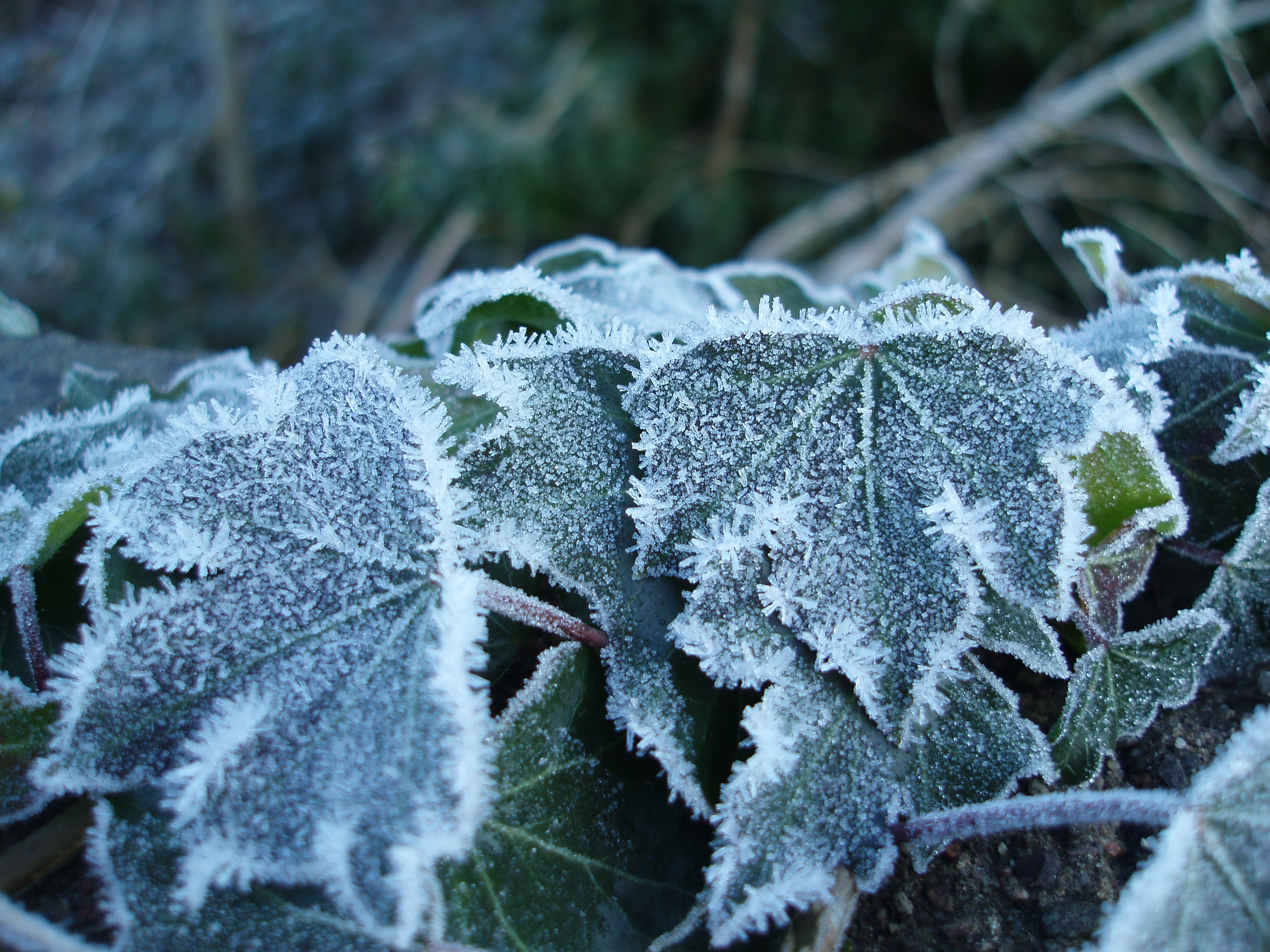 ivy covered in winter frost