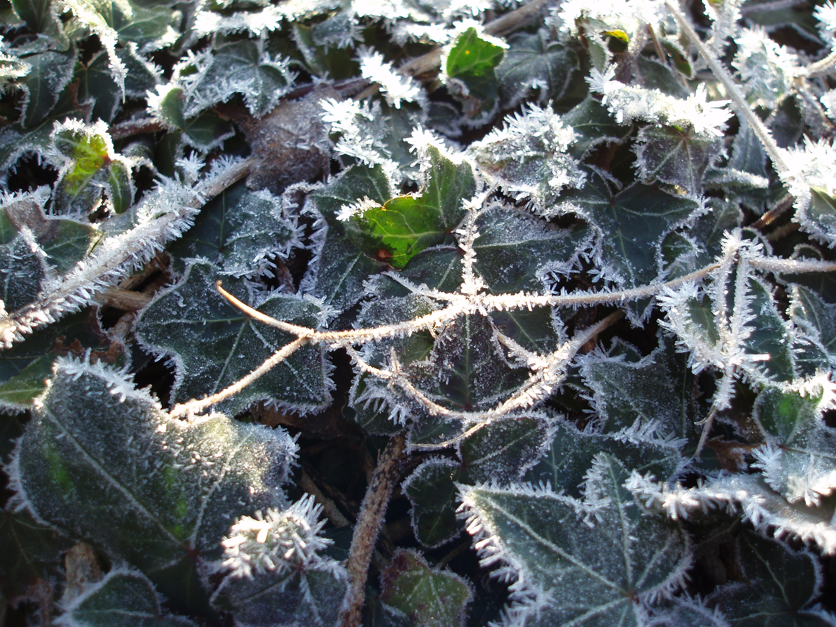 ivy vines covered in winter hoar frost