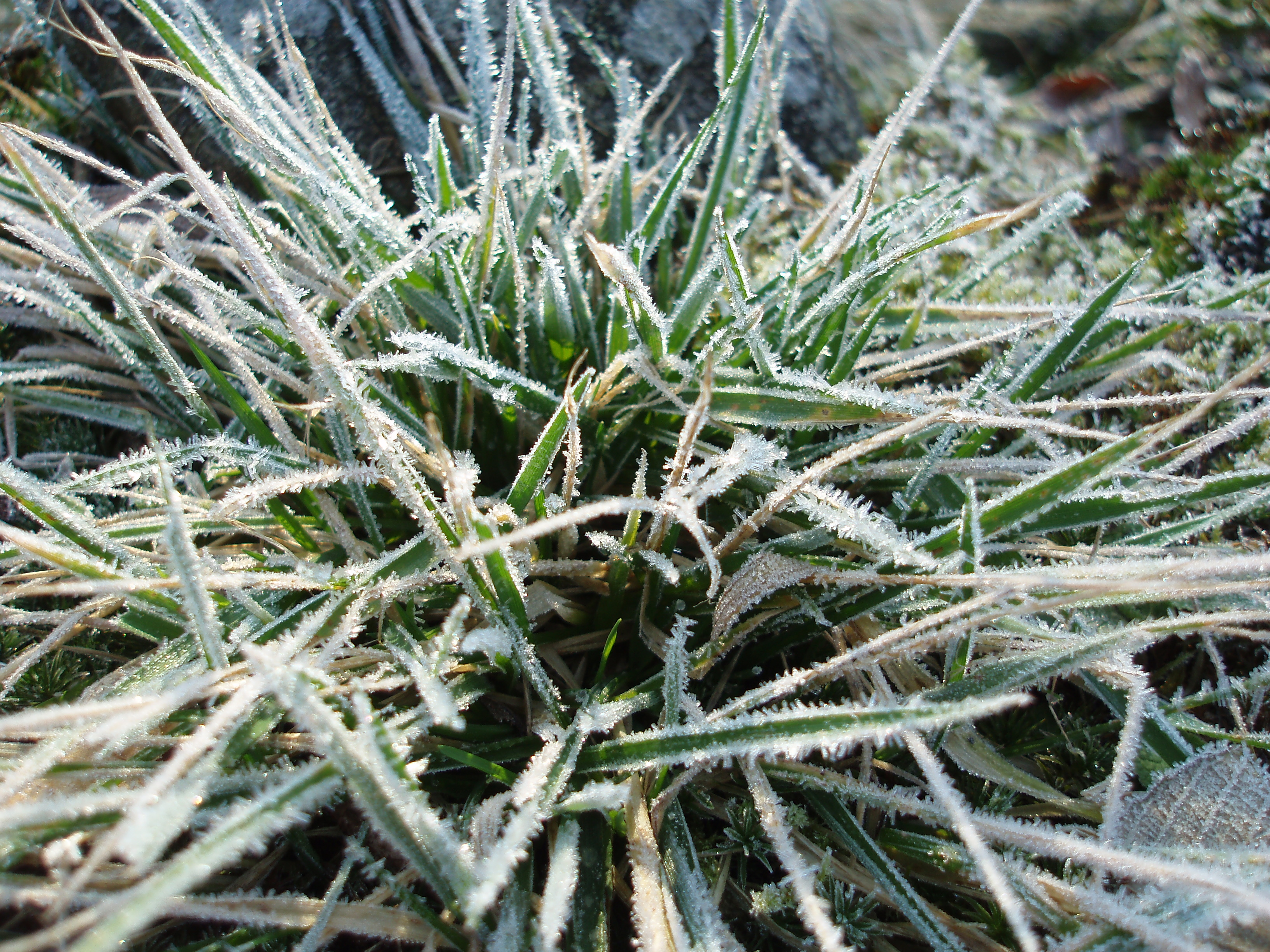 tuft of grass covered in frost