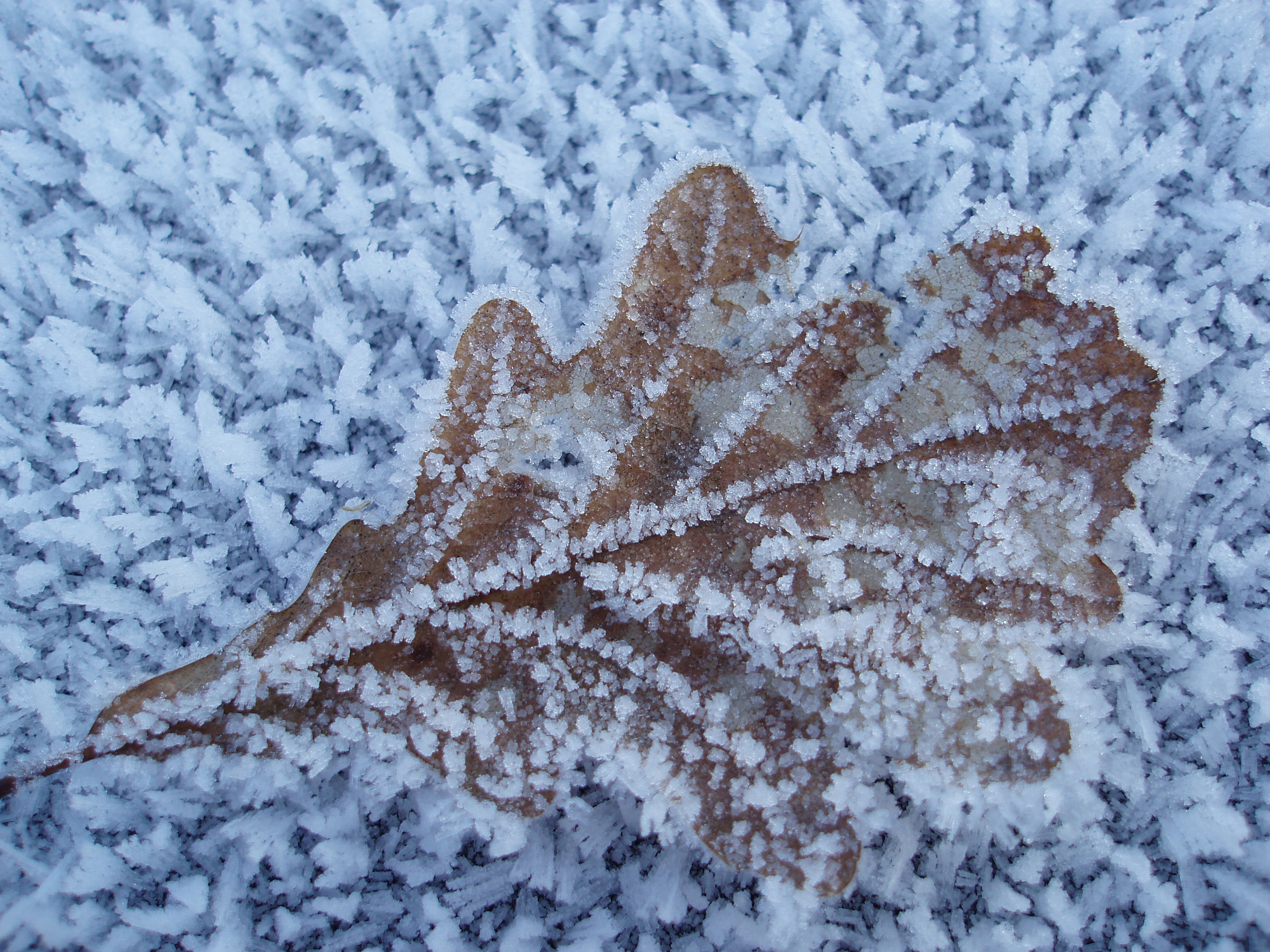 frosty cold brown oak leaf on a winter morning