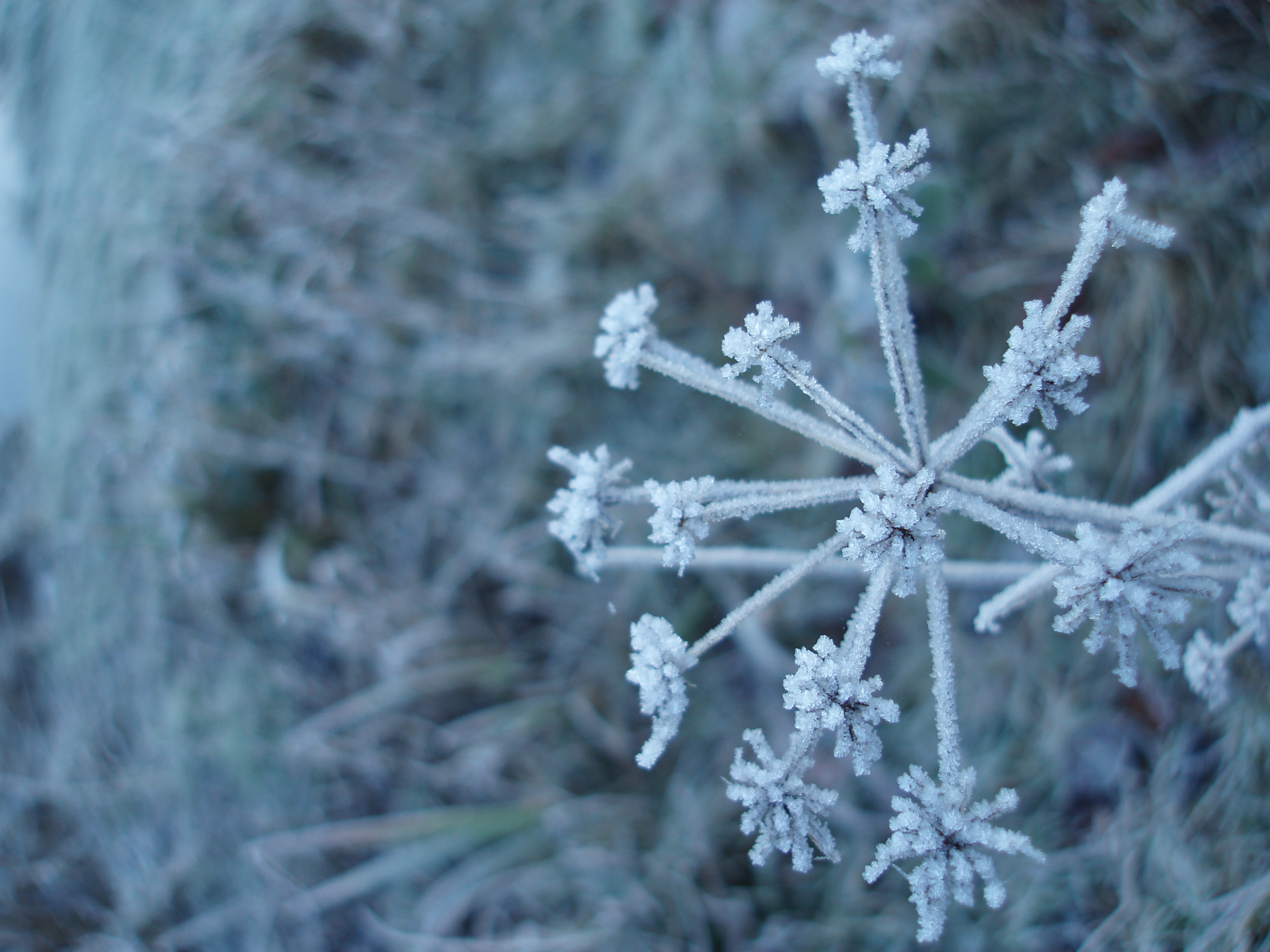 seedhead with frost