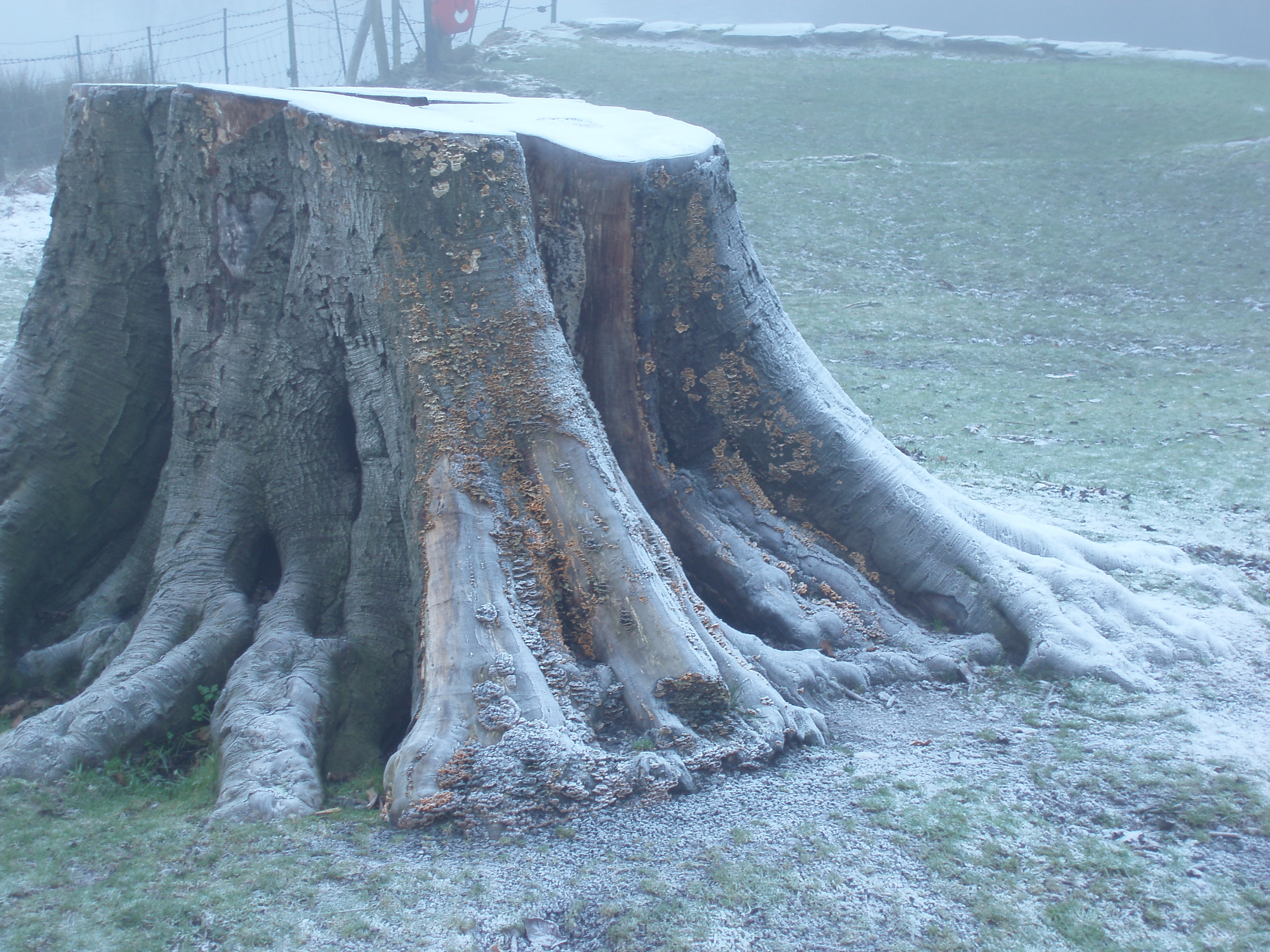 large tree stump on a foggy and frosty morning